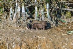 越南小猪画象在地面的 库存图片