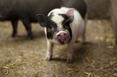 越南小猪 图库摄影