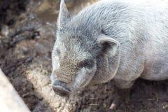 越南小猪 库存照片