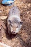 越南小猪 免版税图库摄影