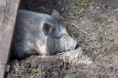 越南小猪 免版税库存图片