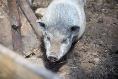 越南小猪 库存图片