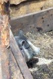 越南小猪 免版税库存照片