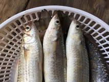 越南扁平头的灰鲻鱼, Mugil cephalus 库存照片