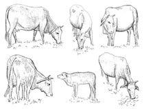 越南母牛 免版税库存照片