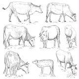 越南母牛 免版税库存图片