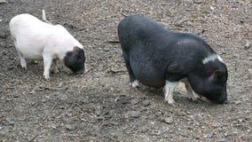 越南猪吃草 影视素材