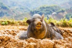越南猪 免版税库存照片