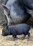 越南猪 库存图片
