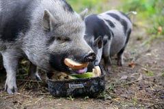 越南猪 免版税库存图片