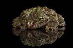 越南生苔青蛙, Theloderma corticale,汤金暴眼青蛙,被隔绝的黑色 免版税库存照片