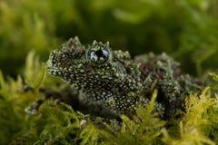 越南生苔青蛙& x28; Theloderma Corticale& x29; 免版税图库摄影