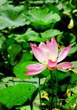 越南的花莲花 免版税库存图片