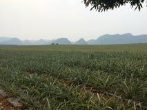 越南的菠萝 免版税库存图片