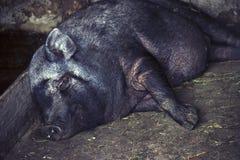 越南矮小的品种的一头黑猪甜甜地睡着在刺 库存图片