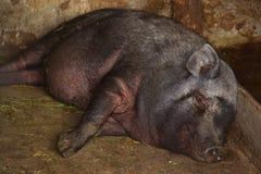 越南矮小的品种的一头黑猪甜甜地睡着在槽枥和微笑 免版税库存照片