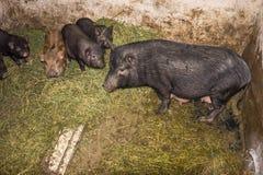 越南语的猪 免版税图库摄影