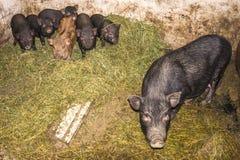 越南语的猪 库存图片