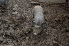 年轻越南贪心在脱粒场 小的猪在传统农村农场哺养 库存照片