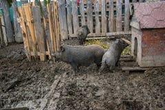 年轻越南贪心在脱粒场 小的猪在传统农村农场哺养 免版税库存照片