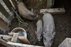 年轻越南贪心在脱粒场 小的猪在传统农村农场哺养 免版税库存图片