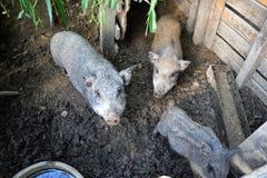 年轻越南贪心在脱粒场 小的猪在传统农村农场哺养 免版税图库摄影