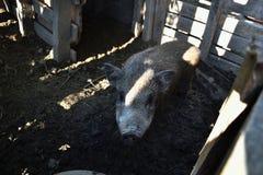 年轻越南贪心在脱粒场 小的猪在传统农村农场哺养 库存图片