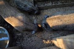 年轻越南贪心在脱粒场 小的猪在传统农村农场哺养 图库摄影