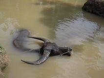 越南水牛浴 图库摄影