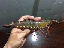 越南黑老虎虾,斑节虾属一角鱼属 库存照片