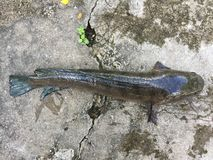 越南snakehead或镶边snakehead鱼, Channa striata 库存照片