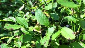 越桔植物特写镜头,用几个蓝莓 影视素材