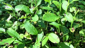 越桔植物特写镜头,用几个蓝莓 股票视频