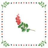 越桔的枝杈在白色背景的在莓果框架 库存图片
