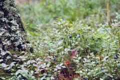 越桔莓果在收获越橘的森林里 免版税库存照片