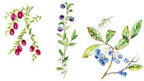 越桔蓝莓蔓越桔 库存图片