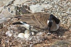 趋向她的巢的加拿大鹅 图库摄影
