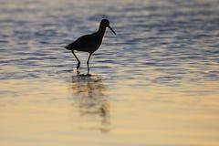 趟水者, Tringa鸟,在下加利福尼亚州,墨西哥 库存图片