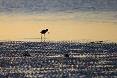 趟水者, Tringa鸟,在下加利福尼亚州,墨西哥 免版税库存照片