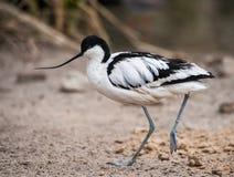 趟水者:黑白染色长嘴上弯的长脚鸟 库存图片