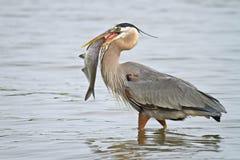 趟过与鱼的伟大蓝色的苍鹭的巢 免版税库存照片
