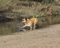 趟过入水的牛头犬 免版税库存照片