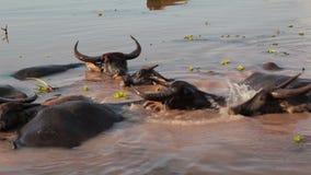 趟过和变冷静在河或池塘的水牛人群 影视素材
