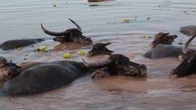 趟过和变冷静在河或池塘的水牛人群 股票录像