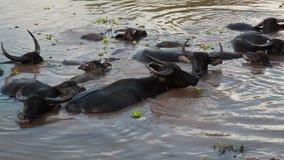 趟过和变冷静在河或池塘的水牛人群 股票视频