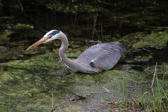 趟过在一个充满水的垄沟的一个幼小伟大蓝色的苍鹭的巢 免版税图库摄影