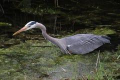 趟过在一个充满水的垄沟的一个幼小伟大蓝色的苍鹭的巢 库存图片