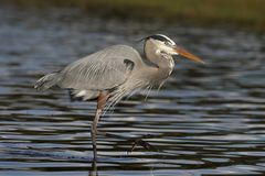 趟过在一个浅佛罗里达池塘的伟大蓝色的苍鹭的巢 图库摄影