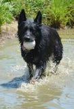 趟过在与白色垒球的水中的狗 库存照片