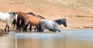 趟过在与野马牧群的waterhole的幼小蓝色软羊皮的公马在普莱尔山野马范围的在蒙大拿美国 库存照片